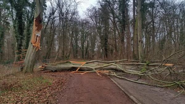 umgestürzter Baum auf dem Hauptweg in der Fasanerie in Köthen